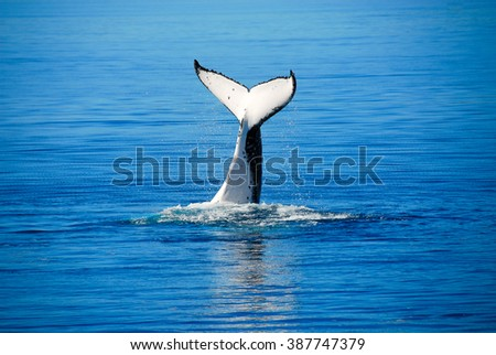 Humpback Whale in Hervey bay, Queensland (Australia)  - stock photo