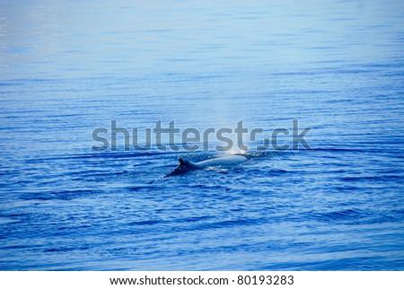 Humpback Whale in Hervey bay, Queensland, Australia - stock photo