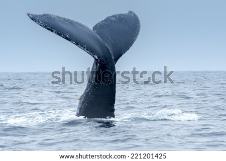 Humpback Whale in Puerto Lopez, Ecuador - stock photo