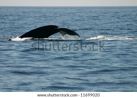 Humpback whale in Puerto Vallarta 2