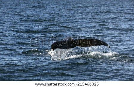 Humpback whale in the Atlantic ocean shows its tail