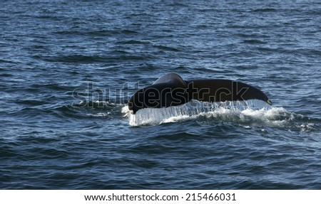 Humpback whale in the Atlantic ocean shows its tail  - stock photo