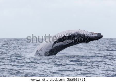 Humpback whale is jumping. Madagascar. The water area of the island of St. Mary.
