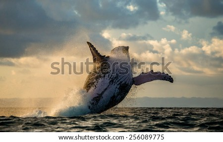 Humpback whale jump at sunset against a beautiful sky. Madagascar. The water area of the island of St. Mary. - stock photo