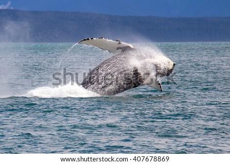Humpback whale jumping in Alaska - stock photo
