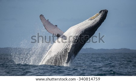 Humpback whale jumps out of the water. Beautiful jump. A rare photograph. Madagascar. St. Mary's Island. An excellent illustration.