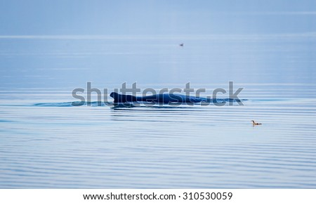 Humpback whale just breaking the surface in Alaska - stock photo