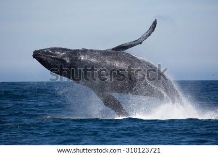 Humpback Whale (Megaptera novaeangliae)  - stock photo