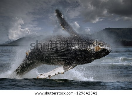 Humpback whale (Megaptera novaeangliae) breaches in spectacular aerial display, Frederick Sound, Southeast Alaska, the Tongass NF. - stock photo
