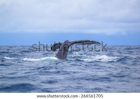 Humpback Whale (Megaptera novaeangliae) breaching at  Okinawa, Japan. - stock photo