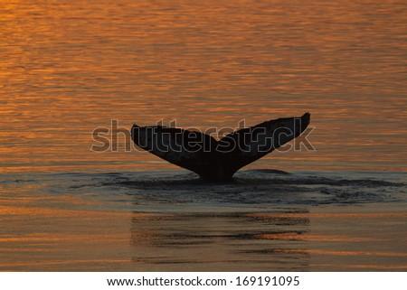 Humpback whale, Megaptera novaeangliae fluke, tail, diving, water streaming off of tail, sunset, Frederick Sound, SE Alaska - stock photo