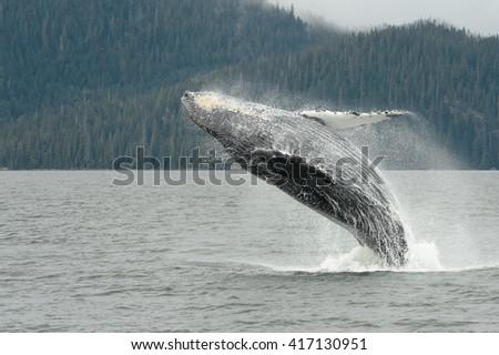 Humpback Whale (Megaptera novaeangliae) - Jump for Fun - stock photo