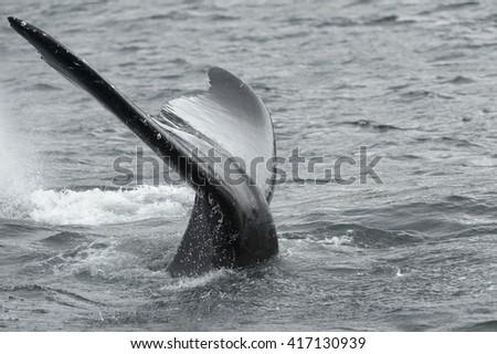Humpback Whale  (Megaptera novaeangliae) - That Was Close - stock photo