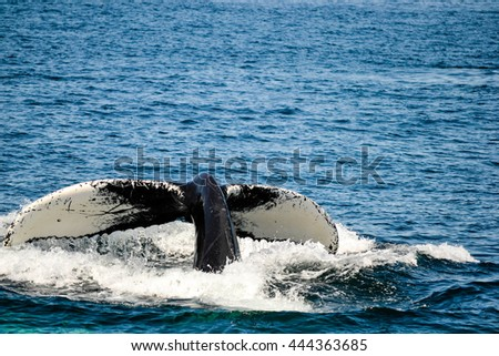 Humpback whale off boston mass - stock photo