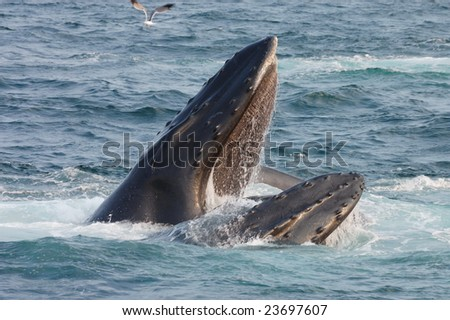Humpback whale opens its mouth - stock photo