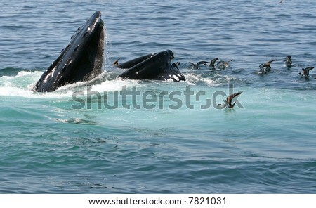 Humpback Whale opens wide to feed in the ocean. Place your copy space at the bottom. - stock photo