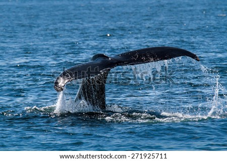 Humpback whale's tail - stock photo