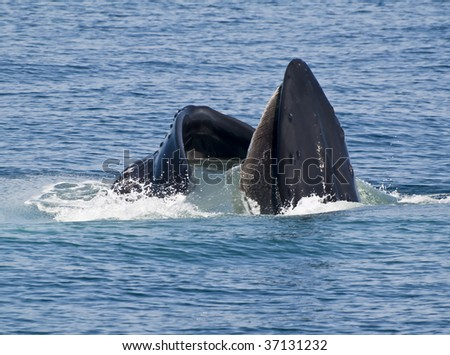 Humpback whale showing his huge mouth out of the water. Photo taken in Cape Cod, Massachusetts, USA - stock photo