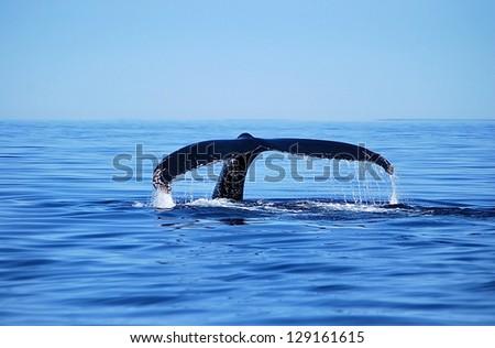 humpback whale shows fluke - stock photo