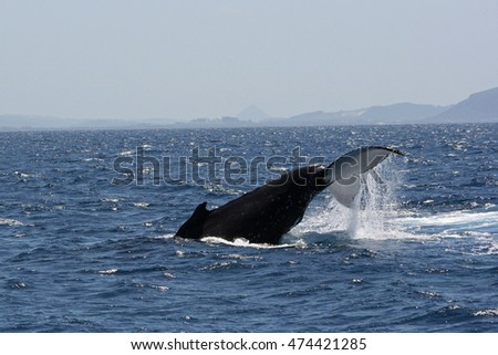 Humpback Whale swimming off the coast near Mooloolaba in Queensland, Australia.