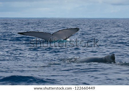 Humpback whale tail going down in blue polynesian sea