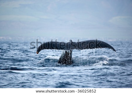 humpback whale tail in maui hawaii fluke up dive - stock photo
