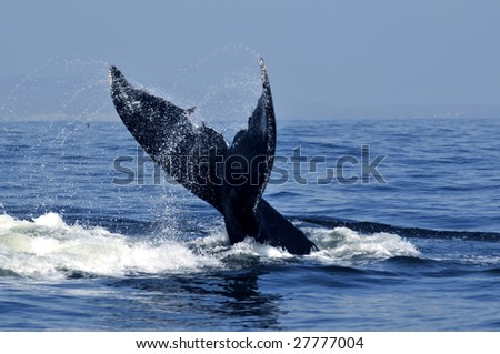 Humpback whale tail in the tropical waters off the west coast of Mexico