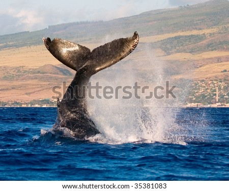 humpback whale tail slapping the tropical waters of hawaii - stock photo