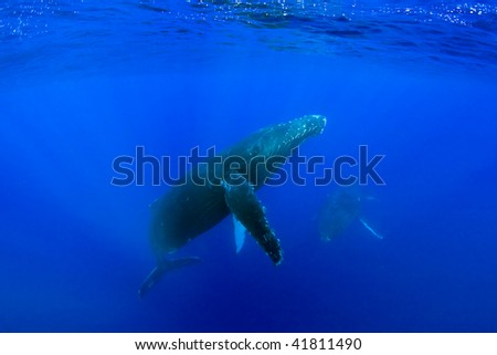 humpback whale underwater in maui hawaii - stock photo