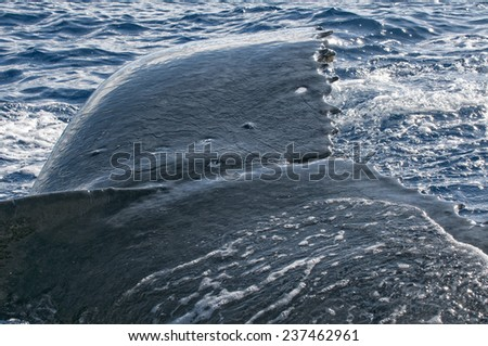 Humpback whale very near close up detail in polynesian sea - stock photo
