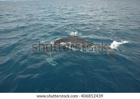 Humpback whales breaching in Hervey Bay, eastern Australia - stock photo