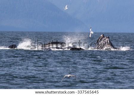 Humpback Whales Bubble Net Feeding - stock photo