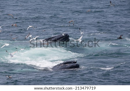 Humpback Whales in Cape Cod, USA - stock photo
