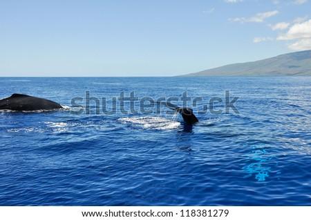 Humpback Whales in Lahaina, Maui, Hawaii - stock photo