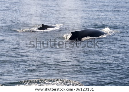 Humpback whales in ocean around cape cod in the USA - stock photo