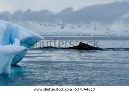 Humpback whales in the waters off Cuverville Island, Antarctica