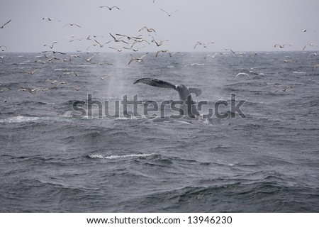 Humpback whales (Megaptera), diving or kick feeding, displaying their flukes (tails) - stock photo