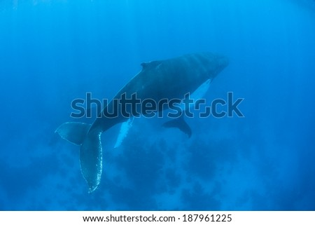 Humpback whales (Megaptera novaeangliae) are baleen cetaceans with one of the more distinctive body shapes. They are quite acrobatic and known for breaching as well as their complex songs. - stock photo