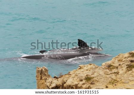 Humpback whales swimming near the coastline. - stock photo
