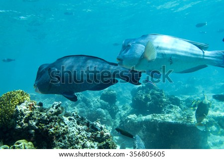 Humphead Wrasse fish or Napoleon fish seen swimming in a tropical climate ocean