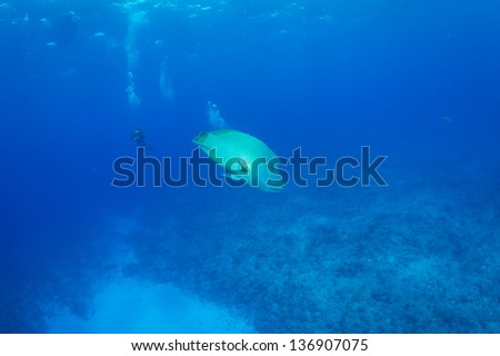 Humphead wrasse  with scuba diver in blue underwater