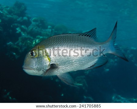 Humpnose big-eye bream. Flora and fauna of the Red Sea.
