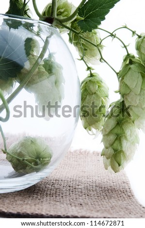 Humulus, a tree branch in a glass, isolated on background