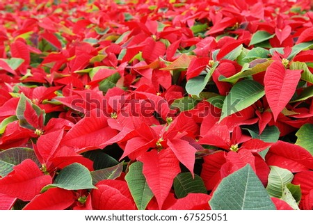 Hundreds of beautiful poinsettia flowers ready for the holiday season - stock photo