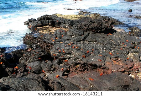 Hundreds of Sally Lightfoot Crabs play on the Volcanic Rocks of the Galapagos Islands - stock photo
