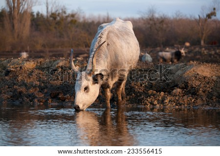 Hungarian grey cattle - stock photo
