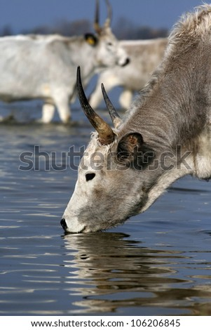 Hungarian grey cattle drinking from the river - stock photo
