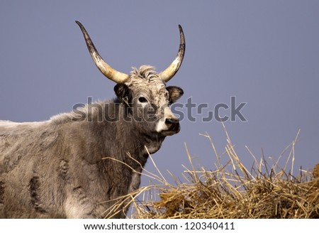 Hungarian Grey cattle looking - stock photo