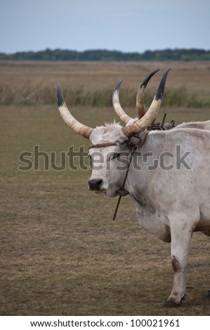 Hungarian grey cattle used as beasts of burden, Hortobagy National Park, Hungary - stock photo