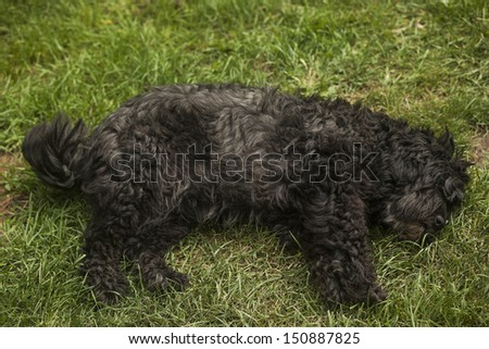 Hungarian herding dog laying on the grass - stock photo
